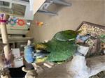 Blauwvoorhoofd amazone papegaai