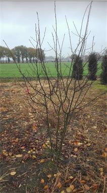 Grote foto amelanchier lamarckii of krentenboompje tuin en terras sierplanten