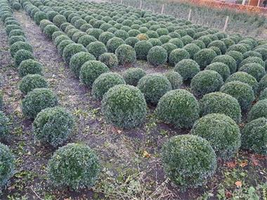 Grote foto buxus bollen tuin en terras bloemen en planten