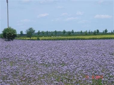 Grote foto ecologische phacelia gecertificeerde tuin en terras bloemen en planten