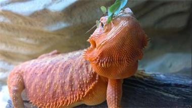 Grote foto jonge baardagaam man dieren en toebehoren reptielen en amfibie n
