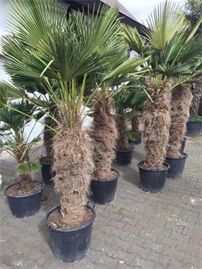 Grote foto winterharde palmboom trachycarpus wagnerianus tuin en terras bloemen en planten