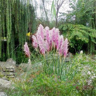 Grote foto egrow 200pcs pampas grass seed potted purple tuin en terras bloembollen en zaden