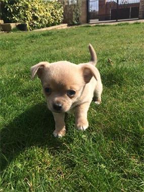 Grote foto chihua hua puppies voor nieuwe huizen dieren en toebehoren chihuahua en gezelschapshonden