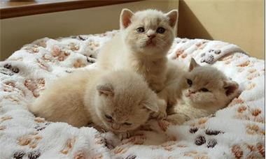 Grote foto brits korthaar kittens voor sweet homes dieren en toebehoren raskatten langhaar