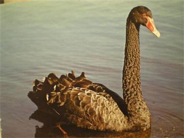 Grote foto eenden ganzen zwanen dieren en toebehoren pluimvee
