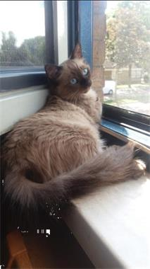 Grote foto ragdoll kittens raszuiver blauwe ogen. dieren en toebehoren raskatten langhaar