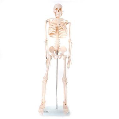 Grote foto menselijk skelet anatomiemodel 85cm diversen verpleegmiddelen en hulpmiddelen