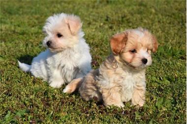 Grote foto havanezer pups dieren en toebehoren chihuahua en gezelschapshonden