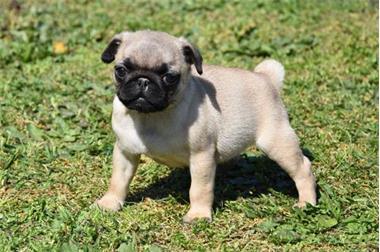 Grote foto mops pups dieren en toebehoren chihuahua en gezelschapshonden
