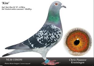 Grote foto te koop jellema beens ko van dommelen duiven dieren en toebehoren duiven