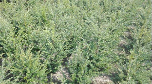 Grote foto taxus baccata tuin en terras bomen en struiken