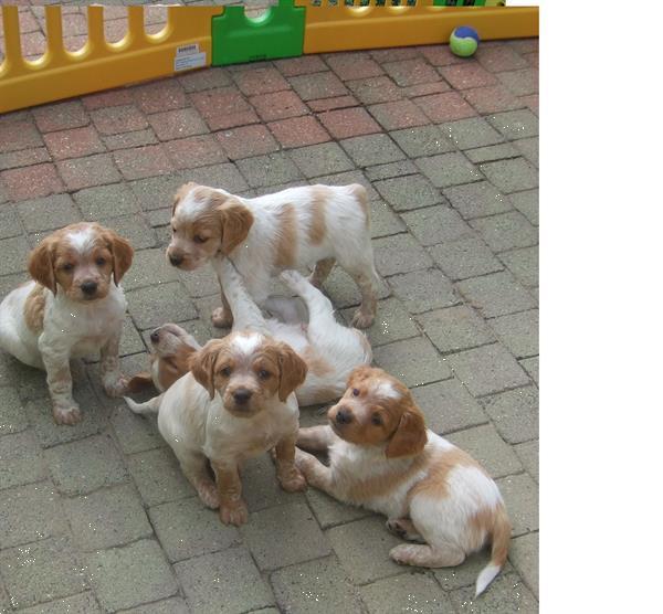 Grote foto epagneul breton te koop dieren en toebehoren retrievers spani ls en waterhonden
