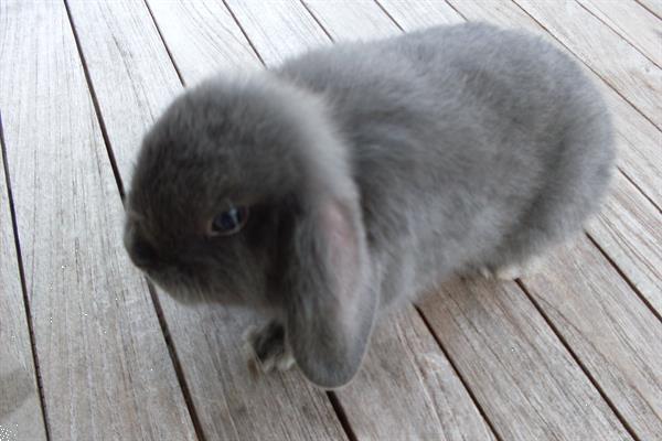 Grote foto schattige nederlandse hangoordwergjes te koop. dieren en toebehoren konijnen