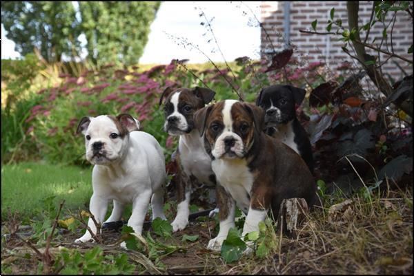Grote foto old english bulldog pups dieren en toebehoren bulldogs pinschers en molossers
