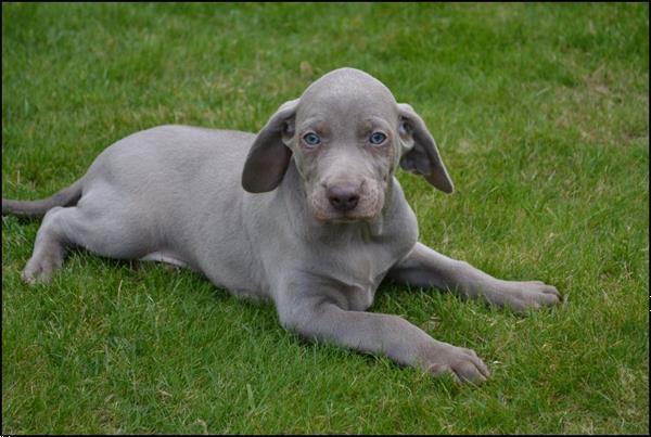 Grote foto weimaraner pups dieren en toebehoren setters en staande honden