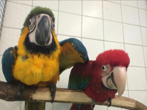 Grote foto alle soorten tamme jonge puppy papegaaien bij dennis dieren en toebehoren parkieten en papegaaien