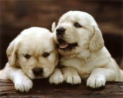 Grote foto golden retriever pups zoeken gouden mandje dieren en toebehoren retrievers spani ls en waterhonden