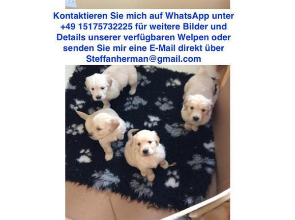 Grote foto stamboom golden retriever puppies te koop dieren en toebehoren retrievers spani ls en waterhonden