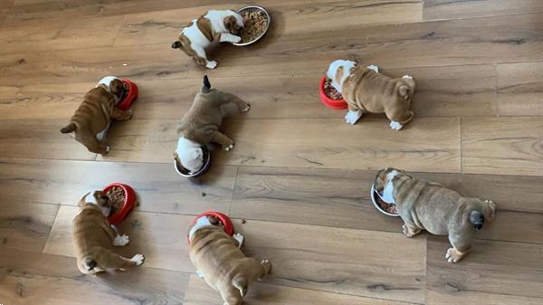 Grote foto mooie engelse bulldog puppy voor adoptie dieren en toebehoren bulldogs pinschers en molossers