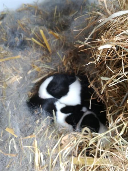Grote foto hollander konijn dieren en toebehoren konijnen