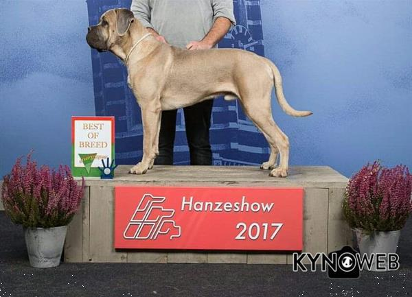 Grote foto cane corso pups verwacht begin mei 2020 dieren en toebehoren bulldogs pinschers en molossers