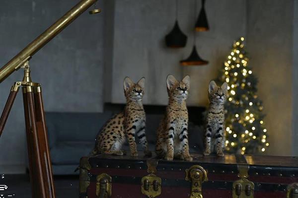 Grote foto savannah kittens beschikbaar diensten en vakmensen katten verzorging oppas en les