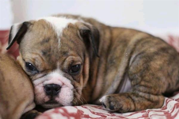 Grote foto zoete bulldog puppy dieren en toebehoren bulldogs pinschers en molossers