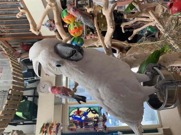 Grote foto handtamme kaketoe vanaf 495 dieren en toebehoren parkieten en papegaaien