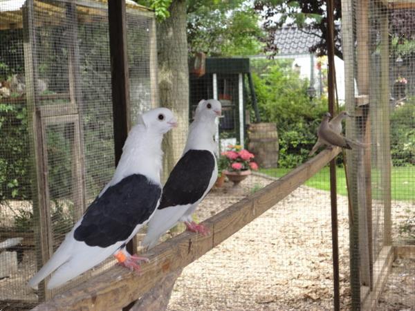 Grote foto diverse soorten sier duiven en tropische duiven. dieren en toebehoren duiven