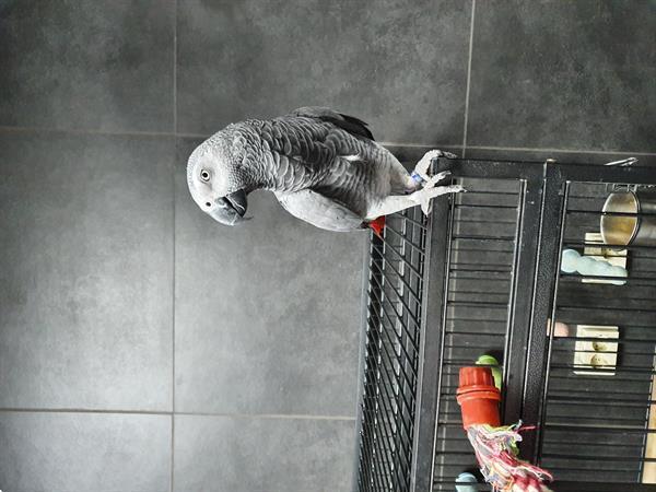 Grote foto te koop grijze roodstaart dieren en toebehoren parkieten en papegaaien