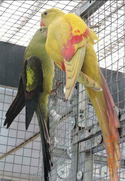Grote foto pastel kweekkoppel bergparkieten dieren en toebehoren parkieten en papegaaien