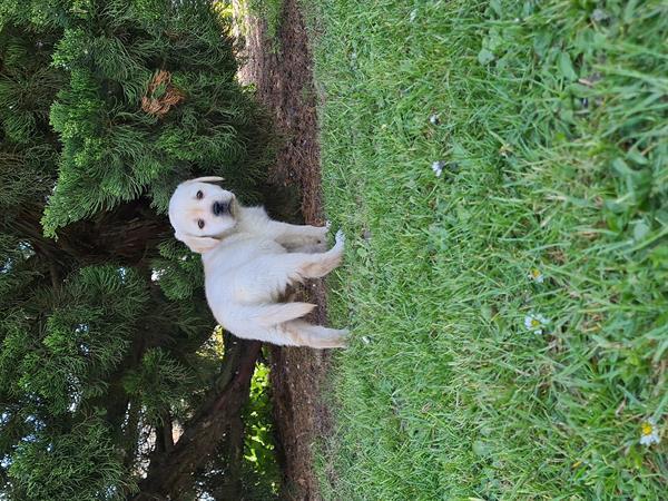 Grote foto blonde labrador pups dieren en toebehoren retrievers spani ls en waterhonden