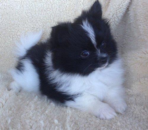 Grote foto pomerania pups dieren en toebehoren chihuahua en gezelschapshonden