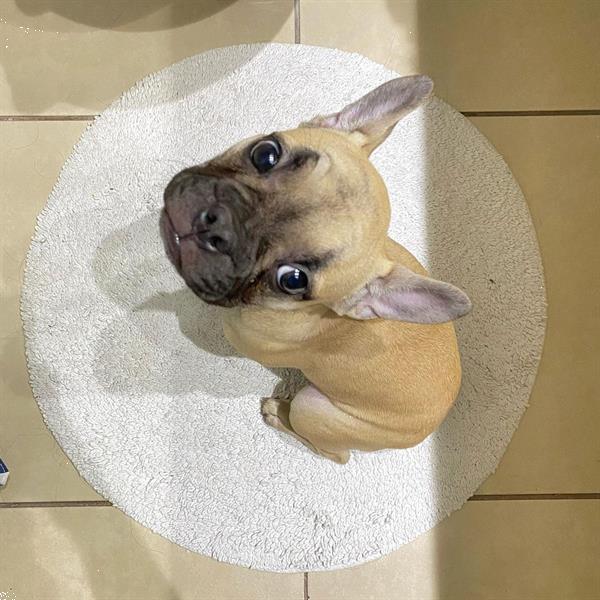 Grote foto mooie franse bulldog puppy dieren en toebehoren bulldogs pinschers en molossers