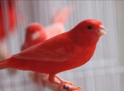 Grote foto zingende zang kanarie 15 inc nieuwe kooi 29 dieren en toebehoren kanaries