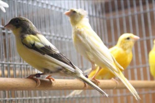 Grote foto zingende zang kanarie va 9 95 dieren en toebehoren kanaries