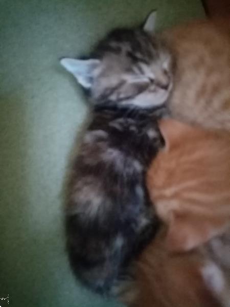 Grote foto 5 schattige kittens cyperse korthaartjes dieren en toebehoren raskatten korthaar